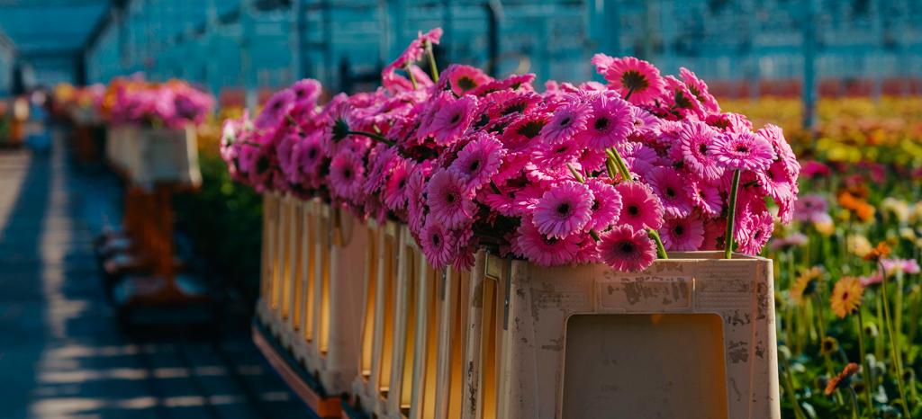 Kasgroeit nodigt talent uit tot overstap naar glastuinbouw